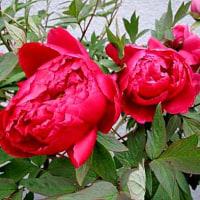 牡丹(ぼたん)という花