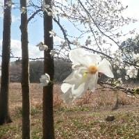 ビロードツリアブ+山桜の花+コブシの花