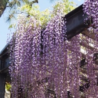 一千年前から咲き続ける 「葛井寺(ふじいでら)の藤の花」
