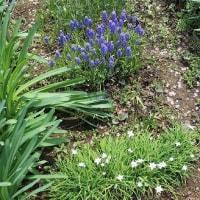 ミニ球根の「ミニ花壇」も花盛り。