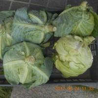 今日の収穫 ジャガイモ キャベツ ニンジン シロウリ インゲン キュウリ ピーマン うまい菜 青ジソ バジル