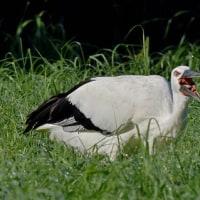 牧草地で採餌:コウノトリJ0067の観察と滞在記録更新