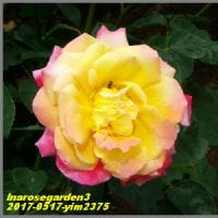 image2375 薔薇園で3