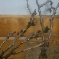 桜の枝探し