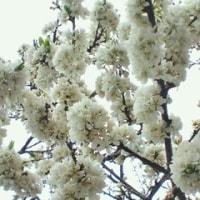 葉桜のち蝦夷林檎