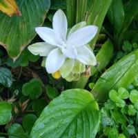 ジンジャー&ウコンの花