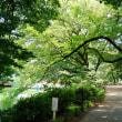 真夏の日差しになった善福寺公園です その3