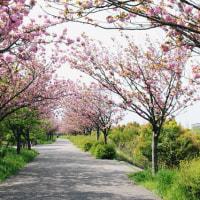 戸田川緑地のサトザクラ