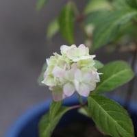 アマサギ 庭の花