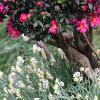 スイセンが咲いている