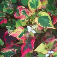 赤茶色葉のドクダミ