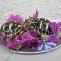 ニシヘルマンリクガメの孫亀と食べるお花