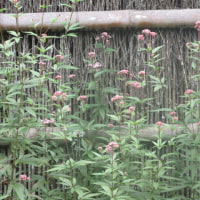 東慶寺のきんさんぎんさん 揃い咲き