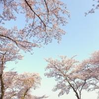 滝谷公園の桜 2017