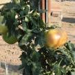 3段目のトマト