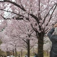 お花見・金沢城公園2017