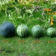 庭に植えた西瓜の試食