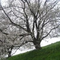 分水の桜はいまこんな 2017その9