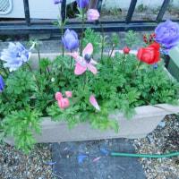 我が家の庭に春~♪