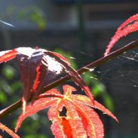 モミジとクモの巣
