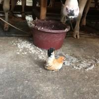 チャボ(鶏)