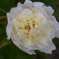 我が家の花・・・白い花を撮りました。