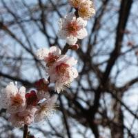 桜まつりにはまだ早い