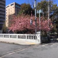 2017堀川桜情報