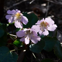 糸魚川城山(じょうやま、根知城跡)の花