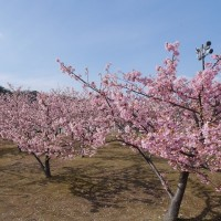 河津桜が満開!
