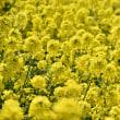 Field of Canola Flower