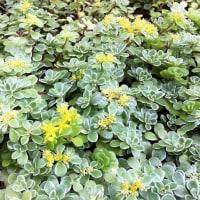花だより・・・。『セダム:斑入りマルバマンネングサ』