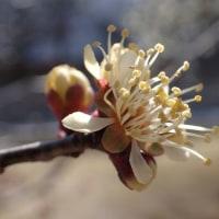 黄金梅の花