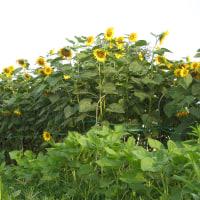 家庭菜園の放射能除染と放射能汚染関連のTwitter投稿まとめ(2) 2011年7月~2011年8月