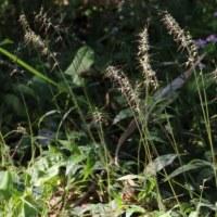 ケチヂミザサ(イネ科・チヂミザサ属)多年草