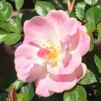今年の薔薇の一番のりはミニ