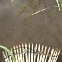 田んぼの除草剤撒き