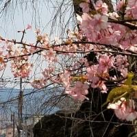カワズサクラで春を・・(^◇^)