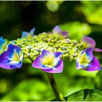 今頃は紫陽花が見どころ・そのⅢ