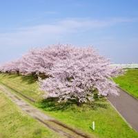 東京の桜穴場スポット