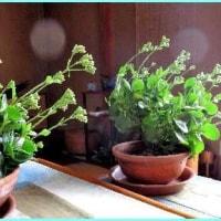 春を待つ「カランコエ」の花
