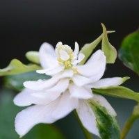 八重咲きドクダミ。