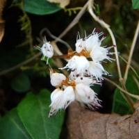 山の花ハルトラノオ(17-512)