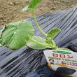 野菜を植えました。