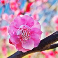 世田谷の羽根木公園の梅を撮る