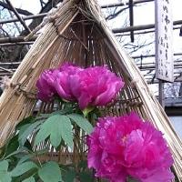 季節の花「冬牡丹」