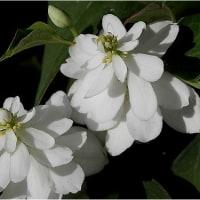 言論の自由 深緑 白い踊り 花は無限