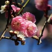 【京都園芸倶楽部Facebook】先週の植物(2017年2月12日~18日)