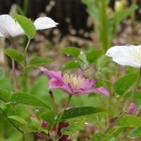 朝から雨・・・紫陽花開花・・・