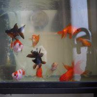冬の金魚水槽。